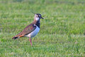 Northern lapwing Stock Photography