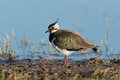 Northern lapwing looking for food Royalty Free Stock Image
