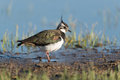 Northern lapwing looking for food Royalty Free Stock Photo