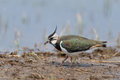 Northern lapwing looking for food Stock Image