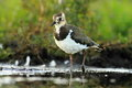 Northern lapwing vanellus vanellus in the natural environment Stock Photo