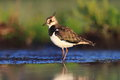 Northern lapwing vanellus vanellus in the natural environment Stock Image