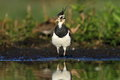 Northern lapwing vanellus vanellus in the natural environment Stock Images