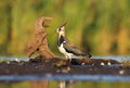 Northern lapwing vanellus vanellus in the natural environment Royalty Free Stock Photos