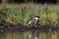 Northern lapwing vanellus vanellus in the natural environment Royalty Free Stock Photo