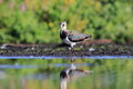 Northern lapwing vanellus vanellus in the natural environment Stock Photography
