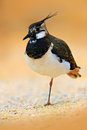 Northern Lapwing, Vanellus vanellus, portrait of water bird with crest. Water bird in the sand habitat. France. Wildlife scene fro Royalty Free Stock Photo