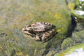 Northern leopard frog lithobates pipiens in canary islands Stock Photo