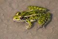 Northern Leopard Frog Royalty Free Stock Photo