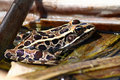 Northern Leopard Frog (Rana pipiens) Royalty Free Stock Photo