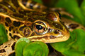Northern leopard frog rana pipiens at lib conservation area in illinois Stock Images