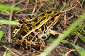 Northern leopard frog rana pipiens at nachusa grasslands in illinois Stock Photo