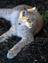 Northern lynx luxuriates in the rays of a sun at sunset Stock Photos
