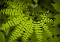 Northern Maidenhair Fern Royalty Free Stock Photo