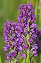 Northern marsh orchid dactylorhiza purpurella two flower spikes Stock Image