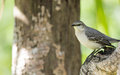 Northern mocking bird lakes park fort myers florida Stock Photo