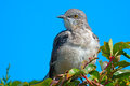 Northern mockingbird close up in tree Royalty Free Stock Images