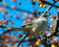 Northern Mockingbird feeding at Sunset Stock Photography