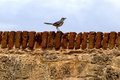 Northern mockingbird on a fortress barrier standing brick of Royalty Free Stock Photo