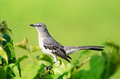 Northern mockingbird on green background fort myers florida Stock Photography