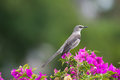 Northern mockingbird mimus polyglottos state bird of florida and many others member of the mimidae family Stock Image