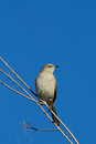 Northern mockingbird a perched on a branch Stock Photography