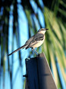 Northern Mockingbird Perched on Traffic Sign Royalty Free Stock Photos