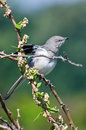 Northern mockingbird perched in a tree on thorny branch Royalty Free Stock Image