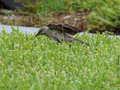 Northern Mockingbird Ready to Pounce Royalty Free Stock Photo
