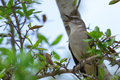 Northern mockingbird singing tree southwest florida Royalty Free Stock Photos