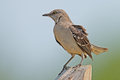 Northern mockingbird sitting on a post Royalty Free Stock Images