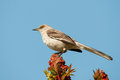 Northern mockingbird on sumac Royalty Free Stock Photography