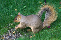 Northern Ohio Squirrel Stock Photo