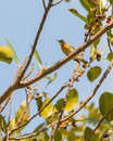 The Northern Parula bird Stock Images