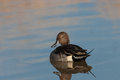 Northern pintail duck a resting on a pond Stock Photos