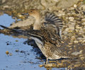 Northern pintail flapping wings anas acuta female duck Royalty Free Stock Photo