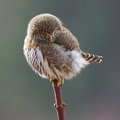 Tiny Owl Royalty Free Stock Photo