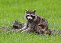 Northern raccoon procyon lator a forages for food in a grassy meadow Stock Photos