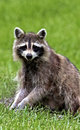Northern raccoon procyon lotor forages for food in a grassy meadow Royalty Free Stock Photos