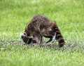 Northern raccoon procyon lotor a forages for food in a grassy meadow Royalty Free Stock Image