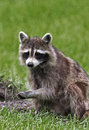 Northern raccoon procyon lotor a forages for food in a meadow Stock Photos
