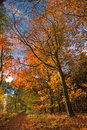 Northern Red Oak in autumn Stock Photography
