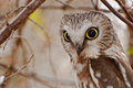 Northern Saw-whet Owl Royalty Free Stock Images