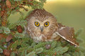 Northern Saw-whet Owl (Aegolius acadicus) Stock Photography