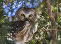 Northern saw whet owl looking for mouse Royalty Free Stock Image