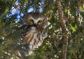Northern saw whet owl looking for prowling Royalty Free Stock Photos