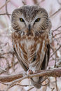 Northern saw whet owl perched on a branch Royalty Free Stock Photos