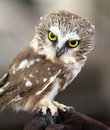 Northern saw whet owl portrait of Stock Image