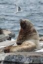 Northern sea lion or steller sea lion kamchatka avachi nature of rookery eumetopias jubatus russia peninsula avachinskaya bay Royalty Free Stock Photography