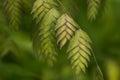 Northern Sea Oats (Chasmanthium latifolium) Ornamental Grass Royalty Free Stock Photo
